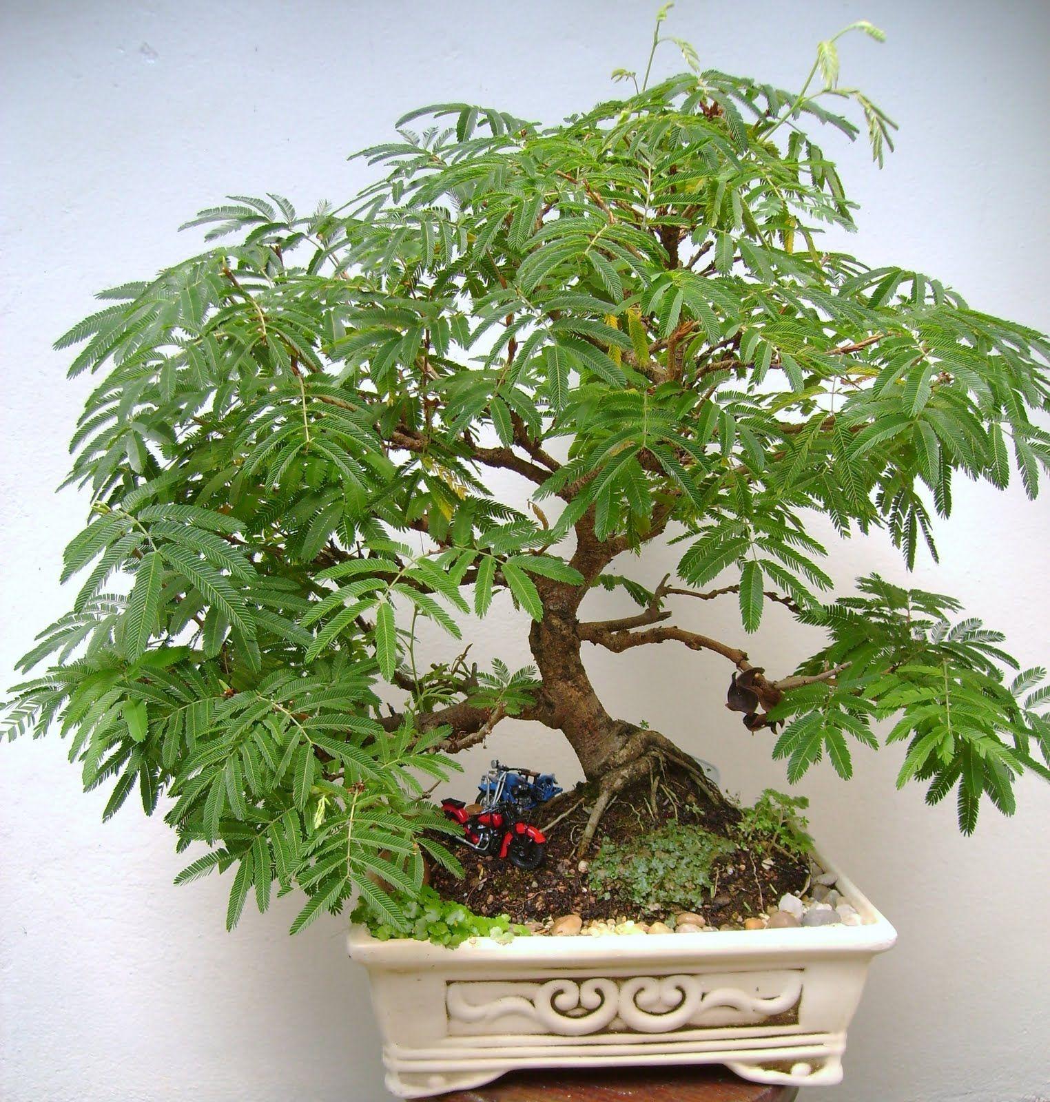 caliandra bonsai bonsai shohin bonsai penjing pinterest moos pflanzen bonsai baum und moos. Black Bedroom Furniture Sets. Home Design Ideas