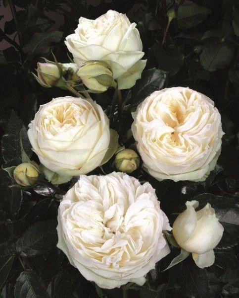 Wedding Piano Tantau | Rosen tantau, Rosen, Weiße rosen