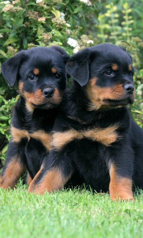 Rottweiler Puppies Image By Anne Fogleman On Canines