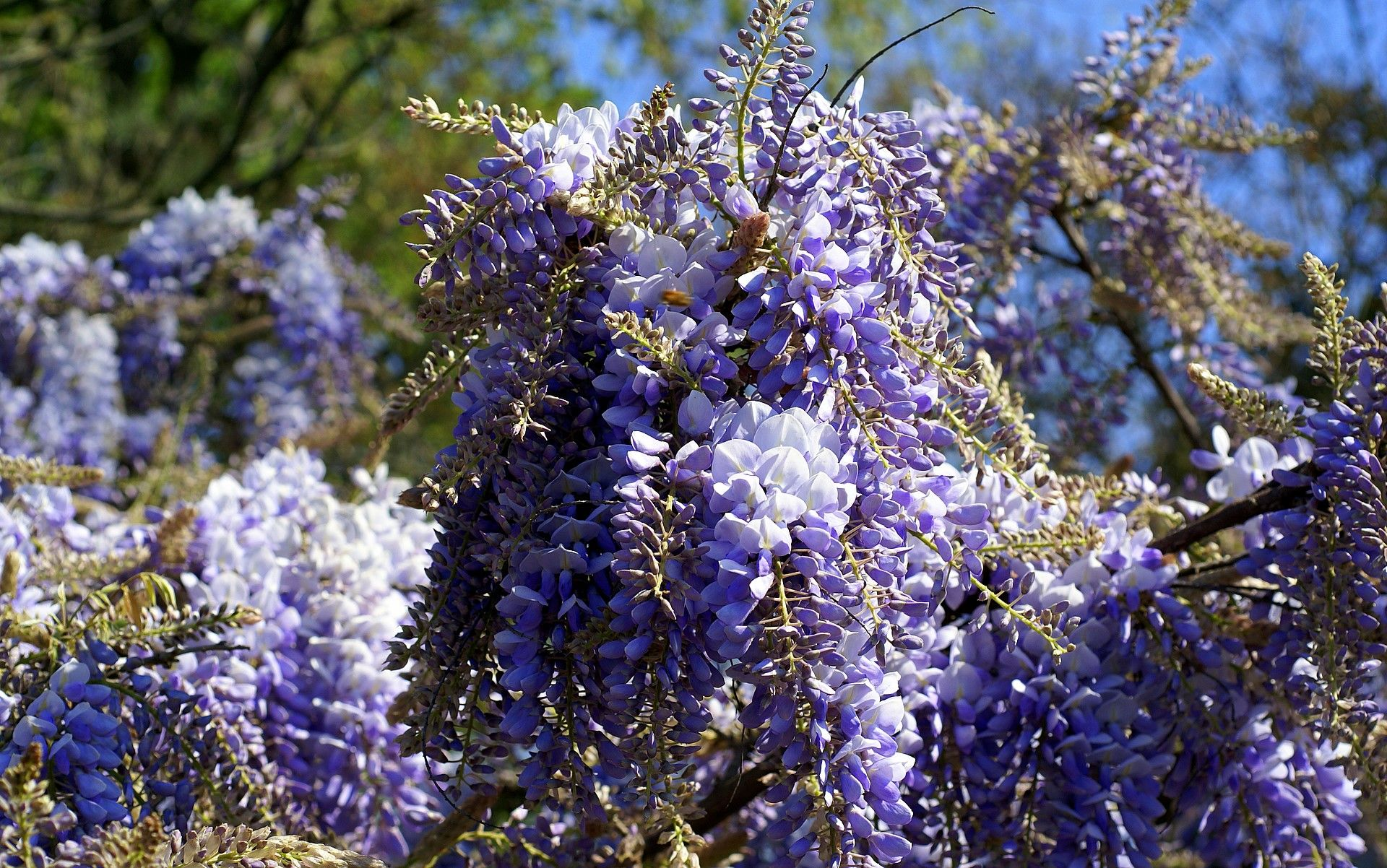 Wisteria Wisteria With Images Wisteria Garden Veggies
