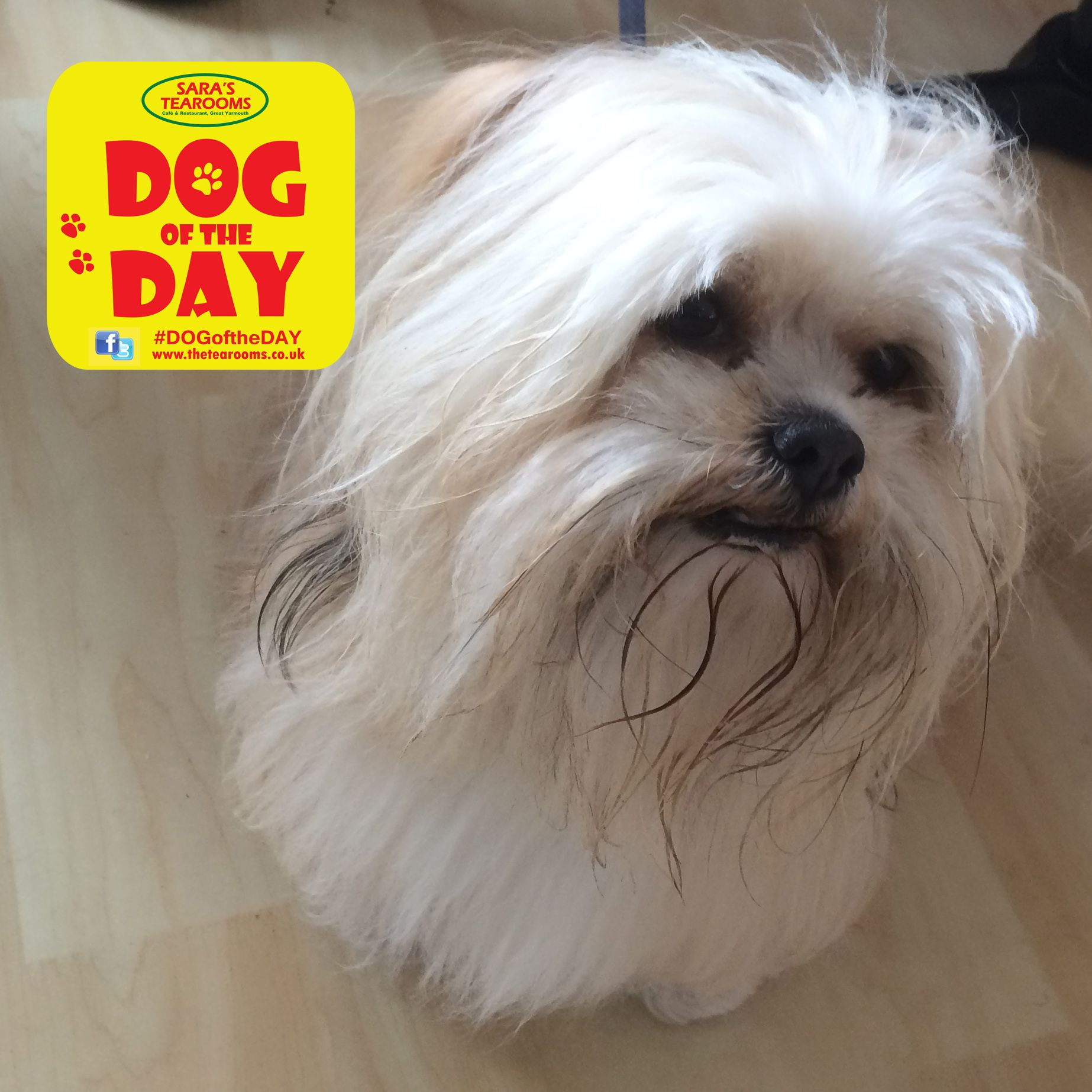 Ziva A 5 Year Old Lhasa Apso Dog Friends Dogs Lhasa Apso