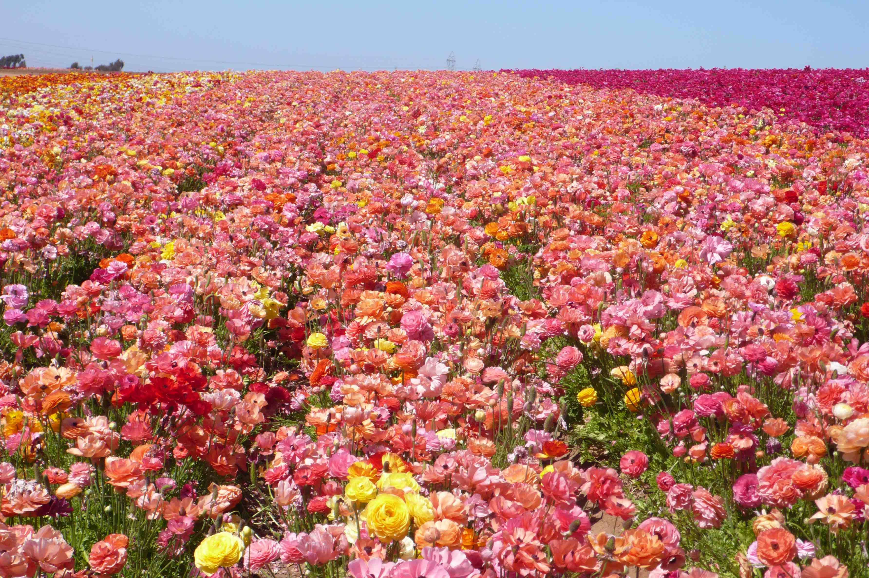 The Divine Dish » Giant Ranunculus in Bloom at Carlsbad Flower ...