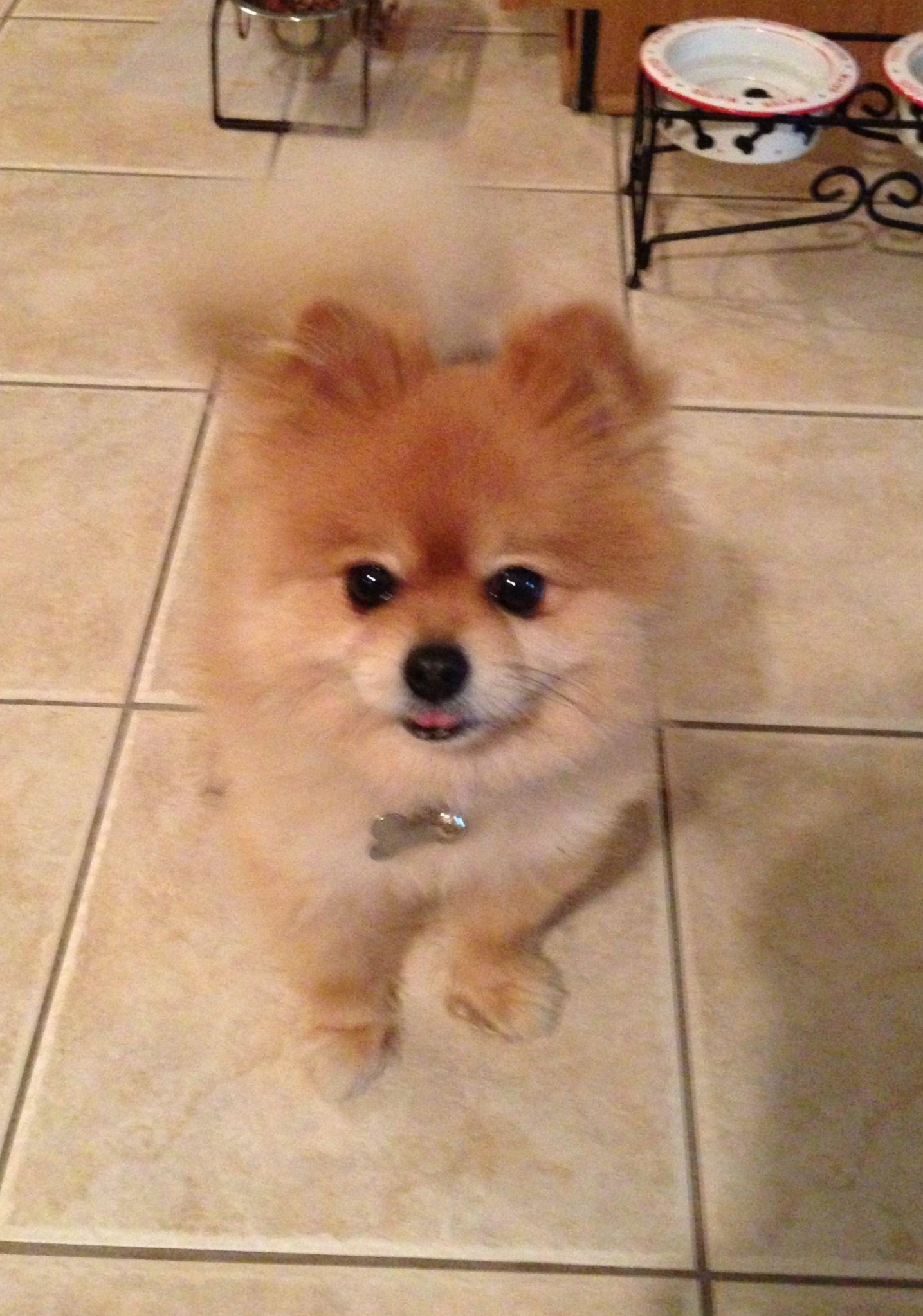 Teacup Pomeranian!! Dogs and puppies Pomeranian dog