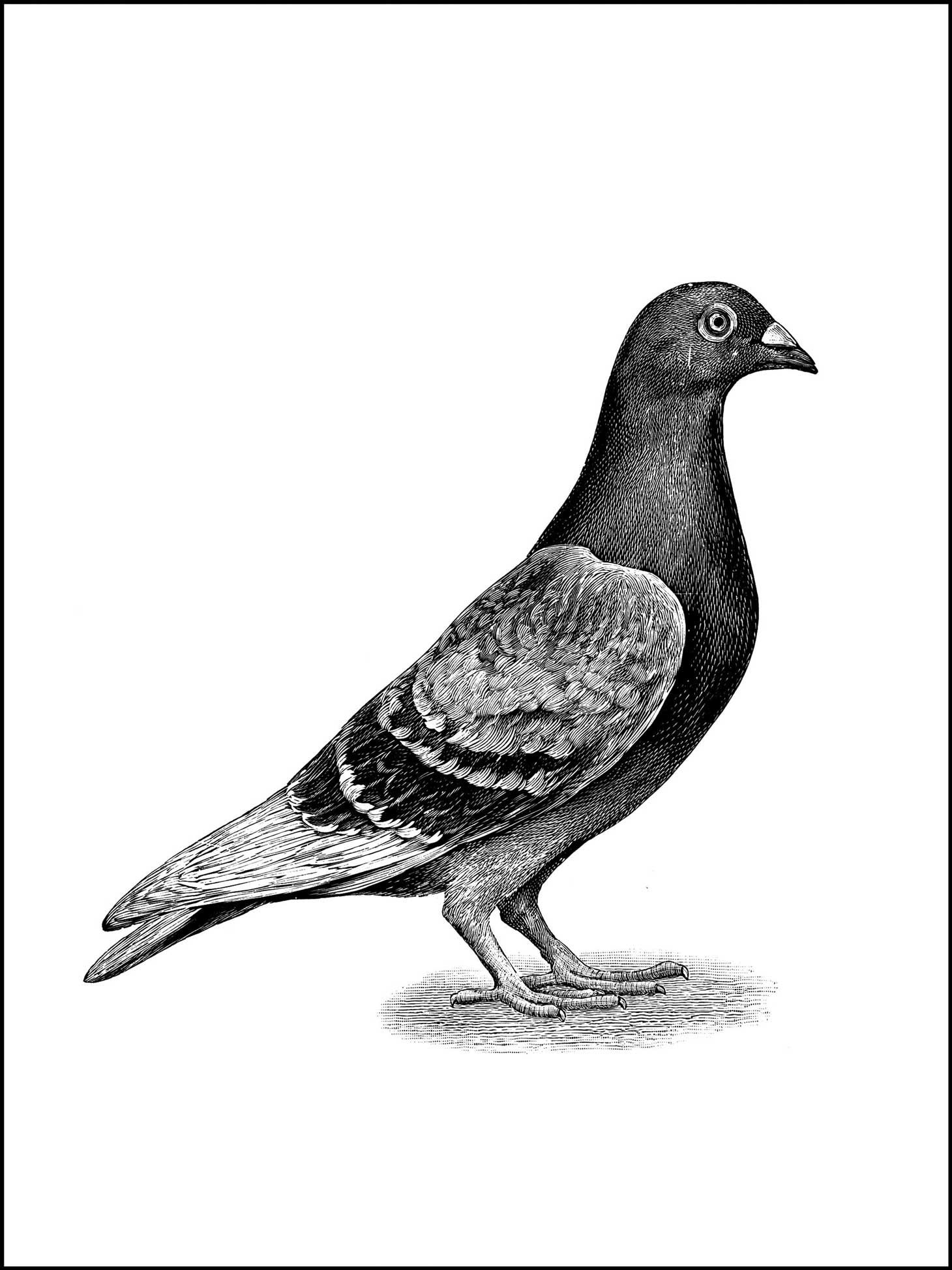 coloring pages - a pigeon, or bird to color in 2019 ...