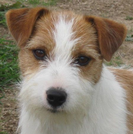 Dogs New Zealand Breeders Hollybrook James Dean Jack Russell