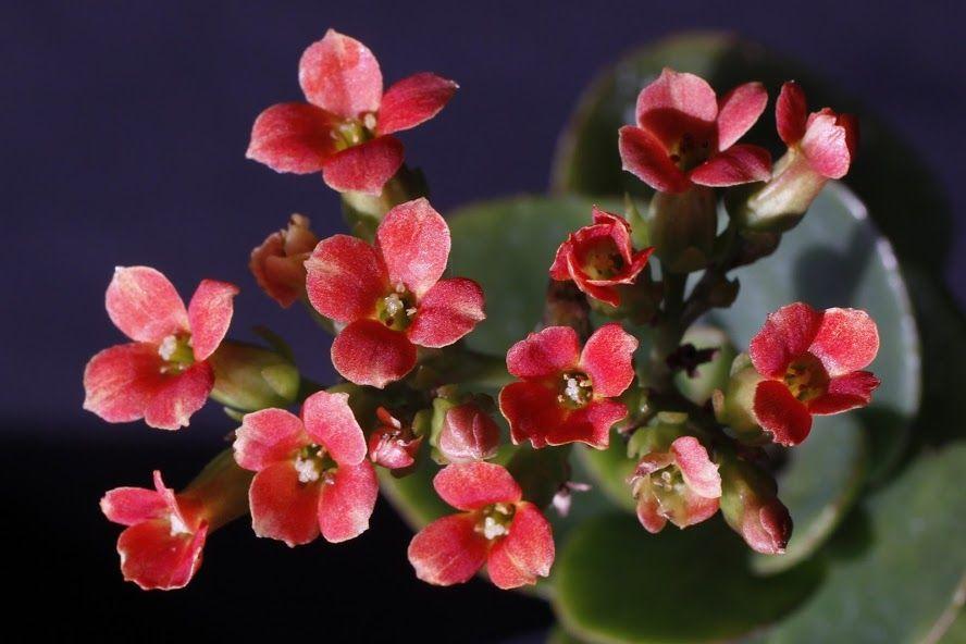 Rosliny Doniczkowe Kwitnace Caly Rok Wideo Twojogrodek Pl Kalanchoe Blossfeldiana Small Flowers House Plants