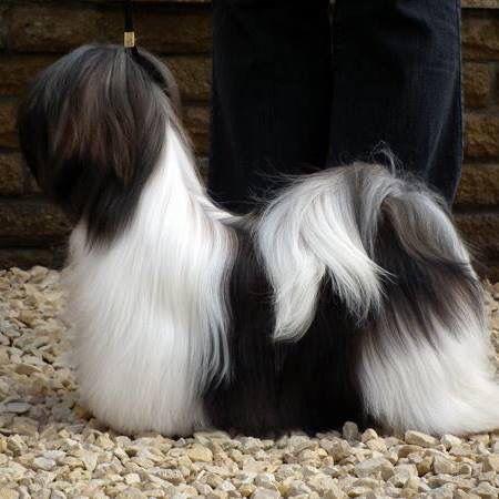 Gorgeous Black And White Lhasa Lhasa Apso Shih Tzu Puppy