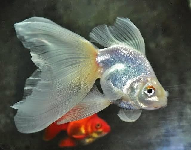 veiltail goldfish ile ilgili görsel sonucu