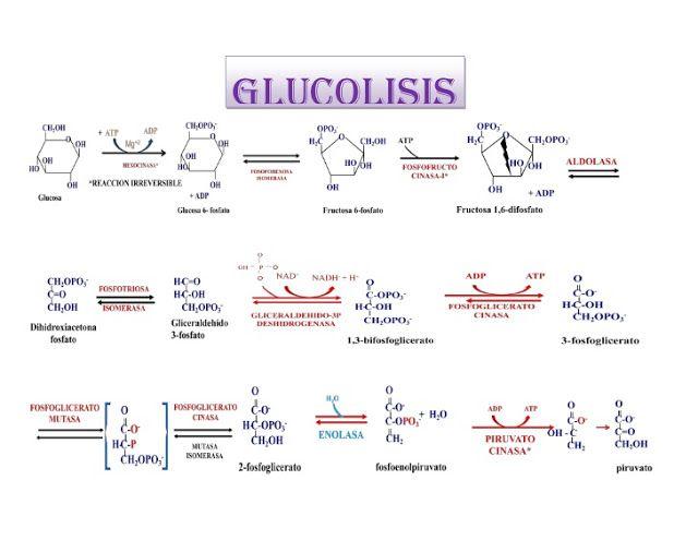 Glucólisis: Antecedentes, función, importancia de la fosforilación ...