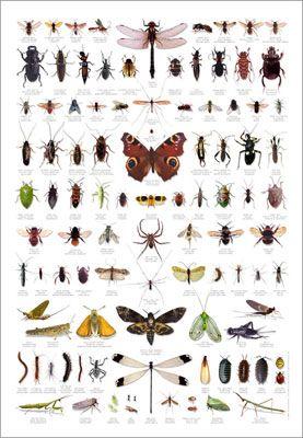Carpet Museum Beetle