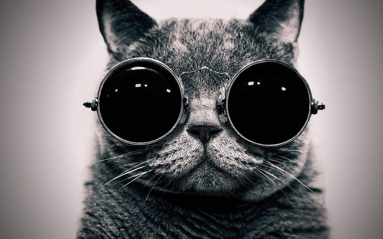 British Short Hair With Glasses Wallpapers Cat Sunglasses Cat Glasses Hipster Cat