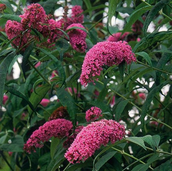 Flower of the Day: Butterfly Bush