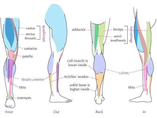 Simple Diagram Of Leg Muscles - Introduction To Electrical Wiring ...