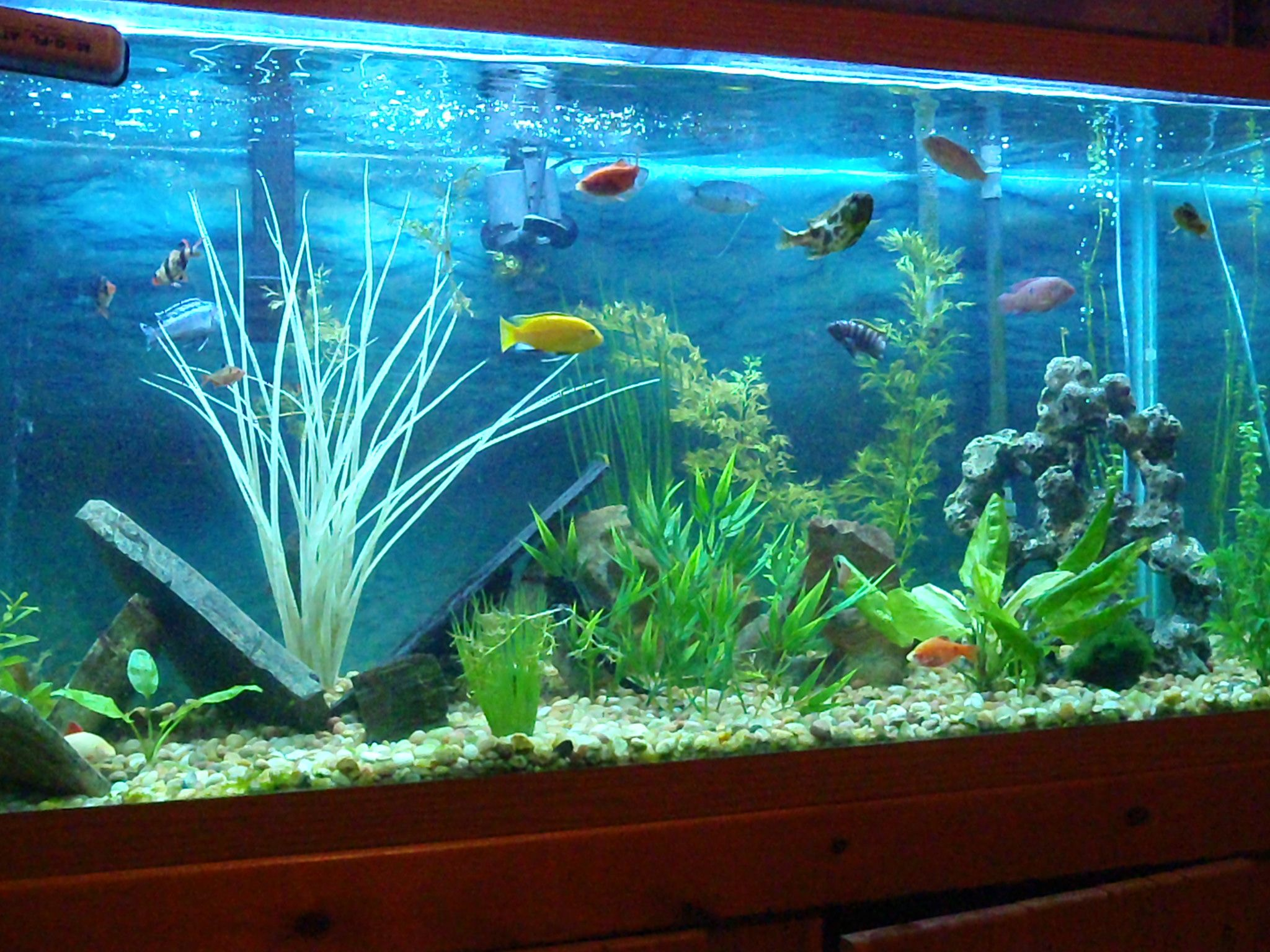 Freshwater aquarium fish info - African Ciclid Tank Fish Africanciclid Freshwater