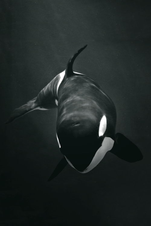 My passion for animal welfare peaks at my involvement in freeing Orca's at SeaWorld. I follow countless animal welfare charities efforts to free the animals and I also sign constant petitions in the hopes that my contribution will make a change.