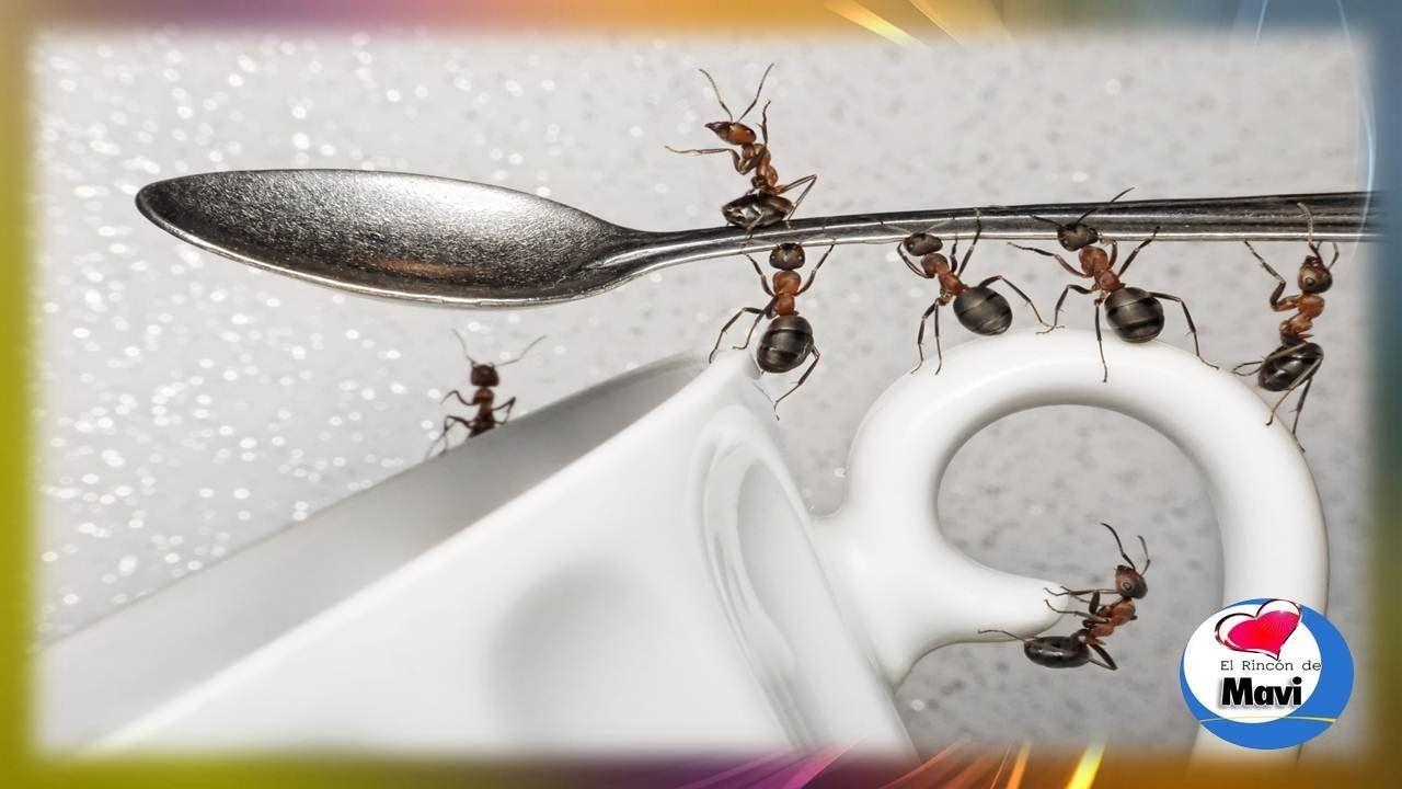 Como eliminar las hormigas con remedios caseros como - Exterminar hormigas en casa ...