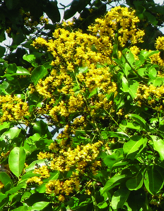 Asana Tree Fauna Flora And Gems In The Vedic Scriptures