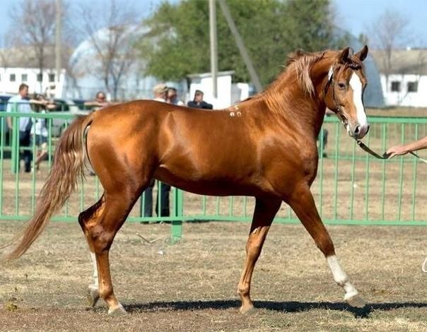 sorrel (golden-red or golden-brown, a shade of chestnut) with chrome - super-cute!