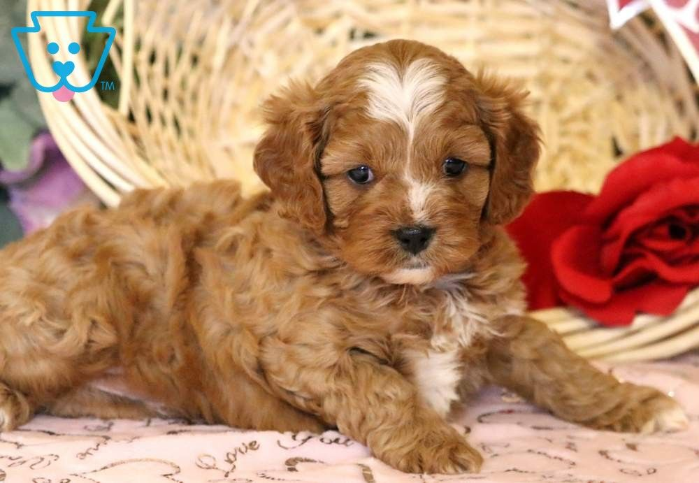 Jojo Cavapoo Puppies Cavapoo Puppies For Sale Puppies