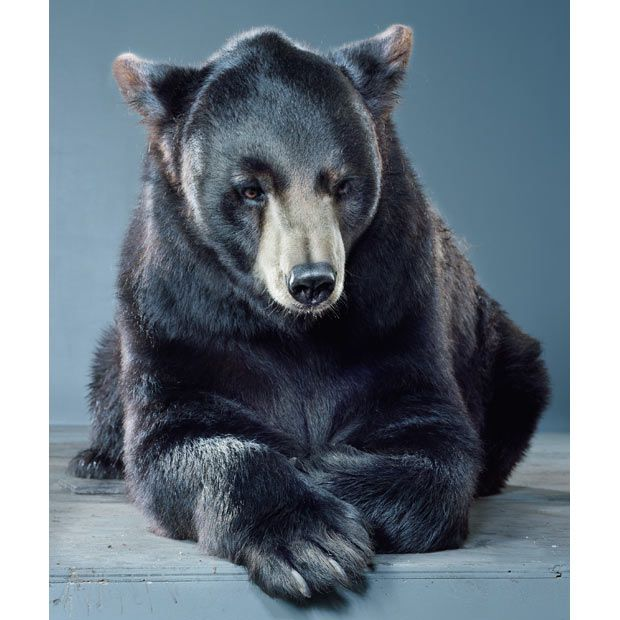 Bear portraits by Jill Greenberg