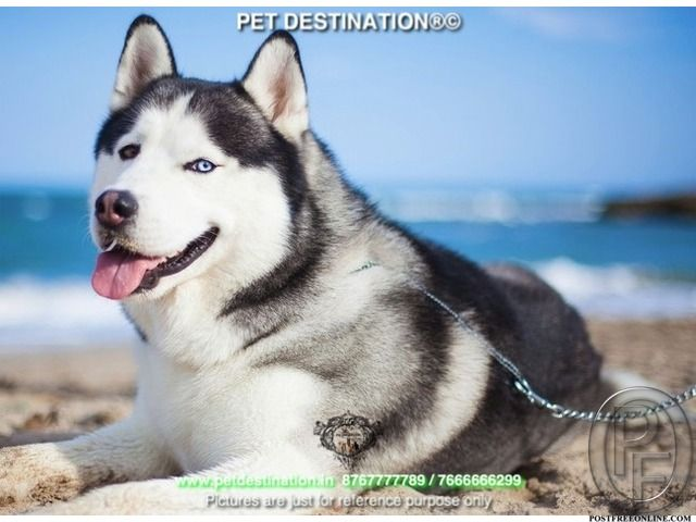 First Time Pet Owner Must Have Siberian Husky By Pet Destination