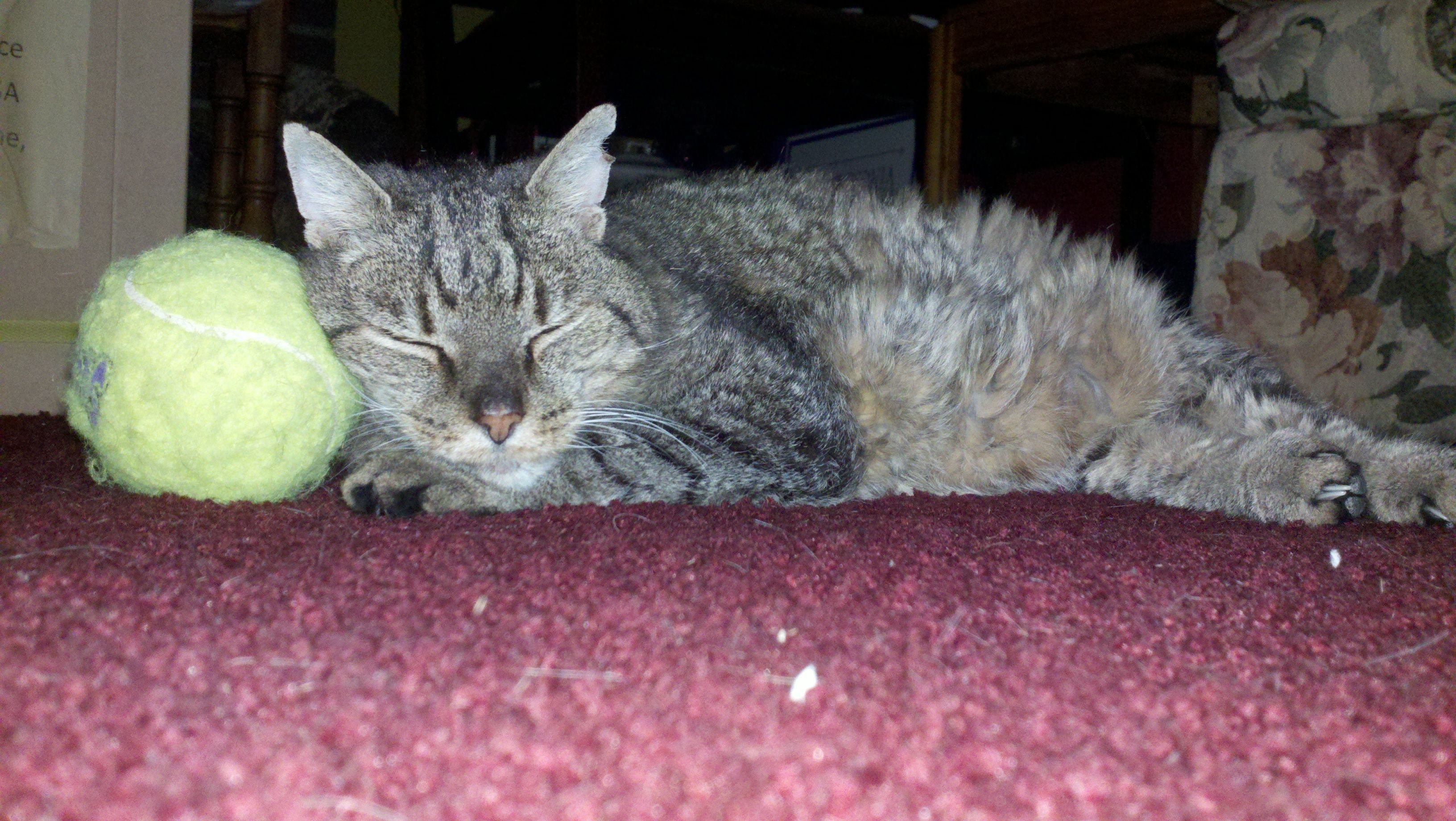 Lucky Cat taking a Nap with a Tennis Ball Pillow