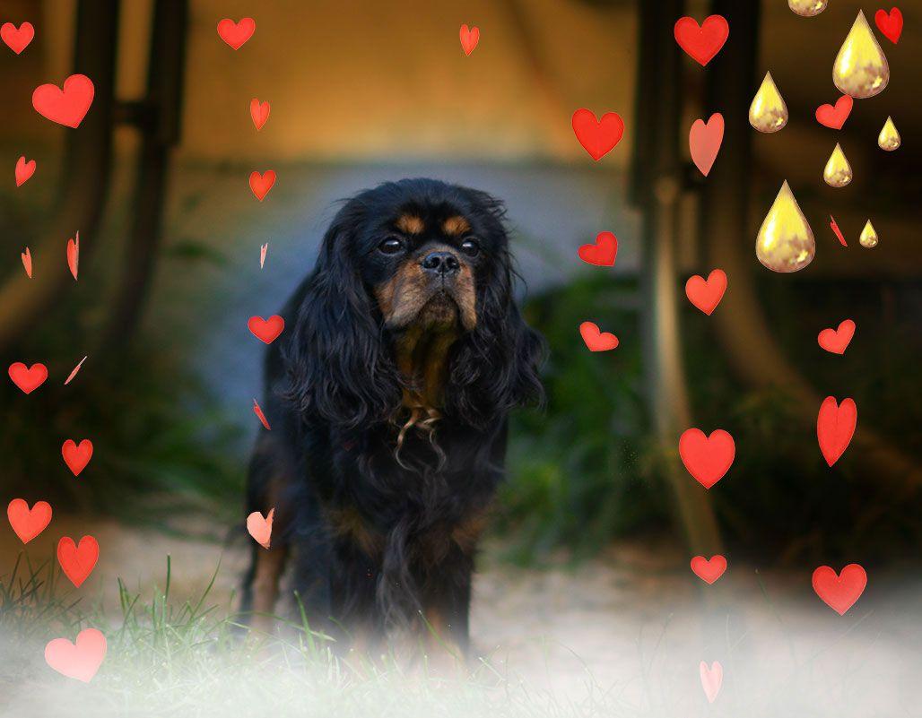 Dominic Vom Residenz Garten Fotos September 2019 Mit Bildern King Charles Spaniel Cavalier King Charles Spaniel Welpen