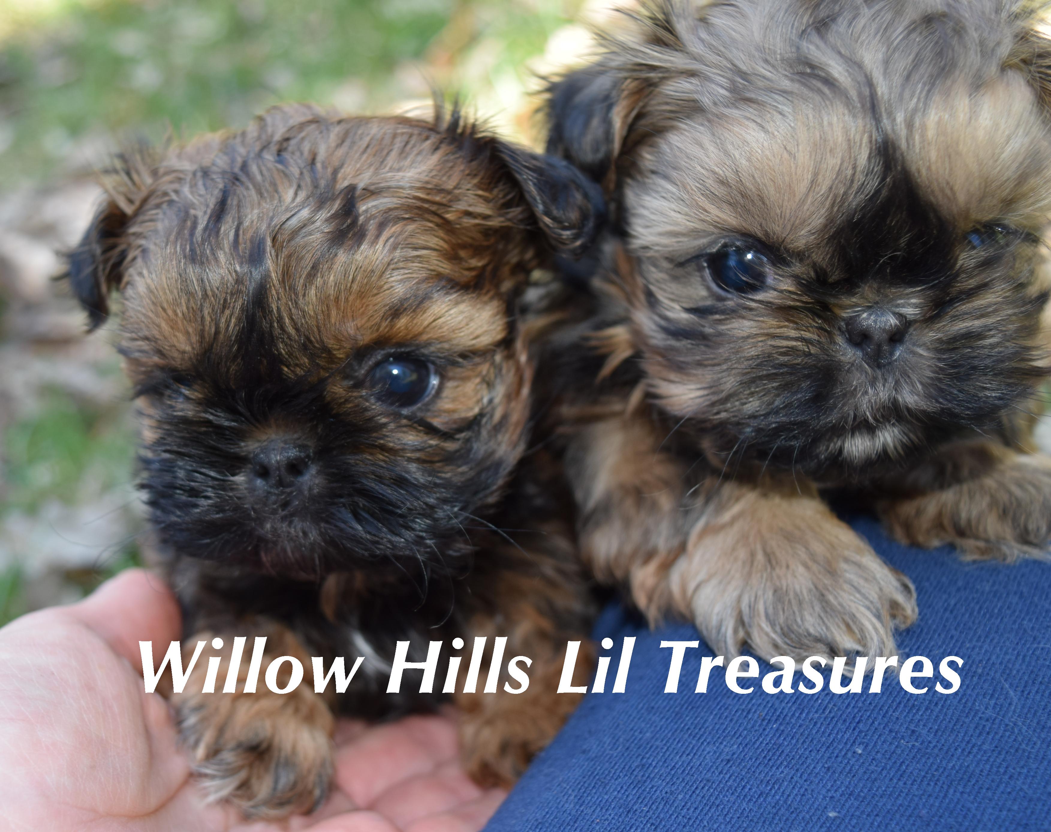 Shih Tzu Puppies Shih tzu puppy, Shih tzu, Cute puppies