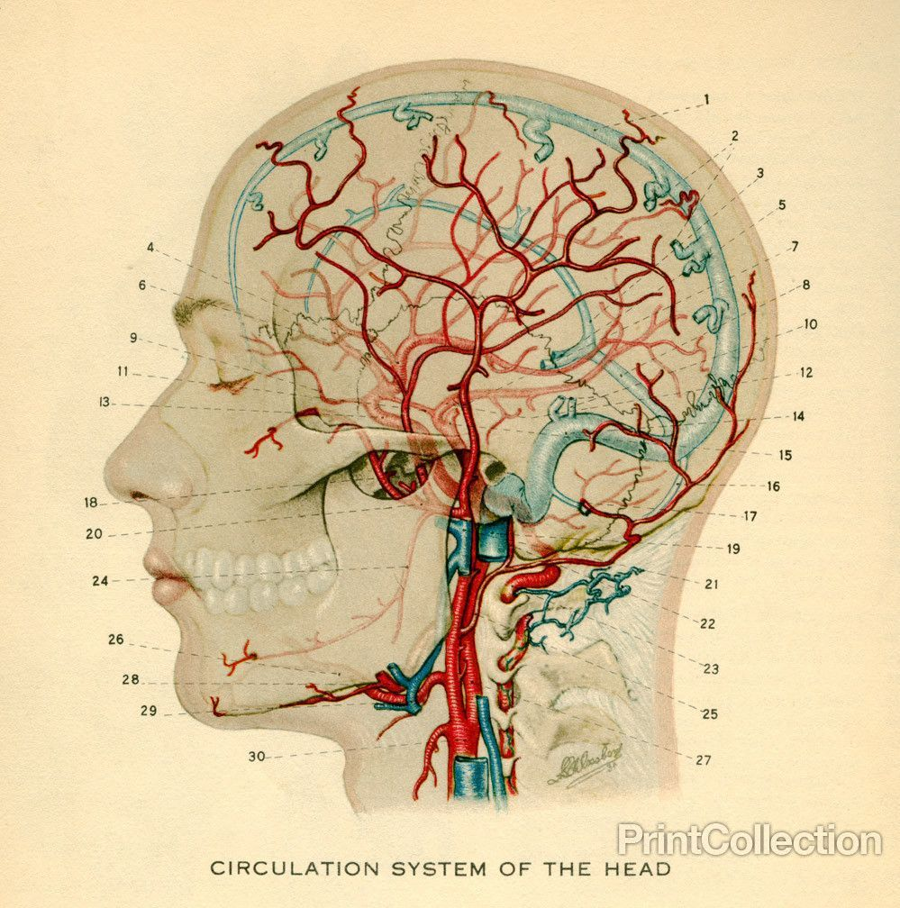Drawing Of The Circulation System Of The Head Image From A Book On