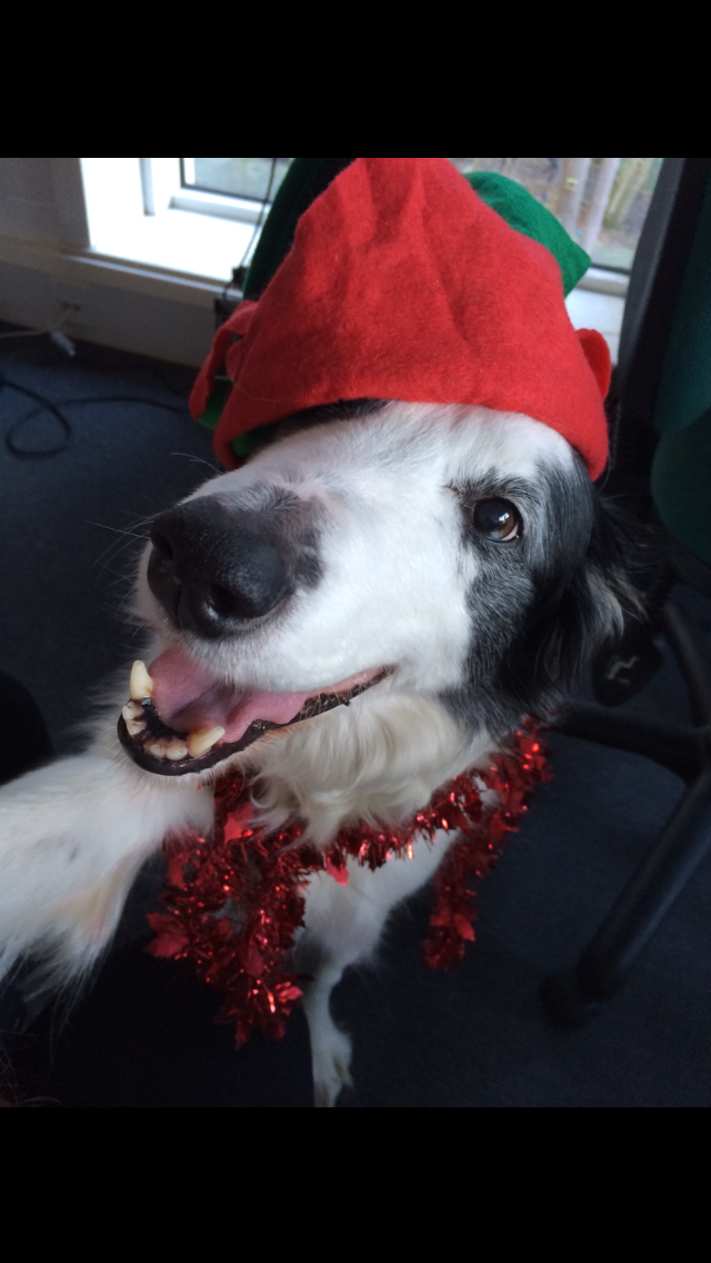 Pitlochry Festival Theatre Marketing Dog is sure getting into the festive spirirt!