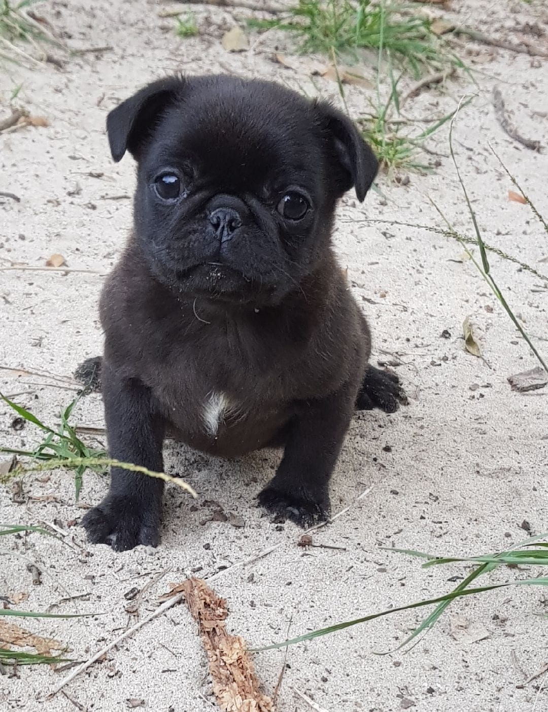 Love At First Sight With Our Little Man Very Cute Pug Baby