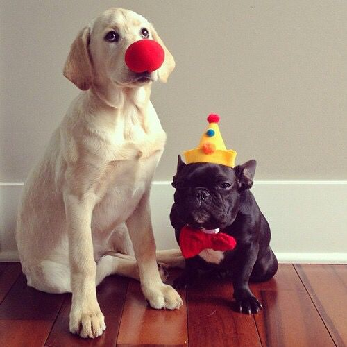 Yellow Lab Puppy With Red Clown Nose Black French Bulldog