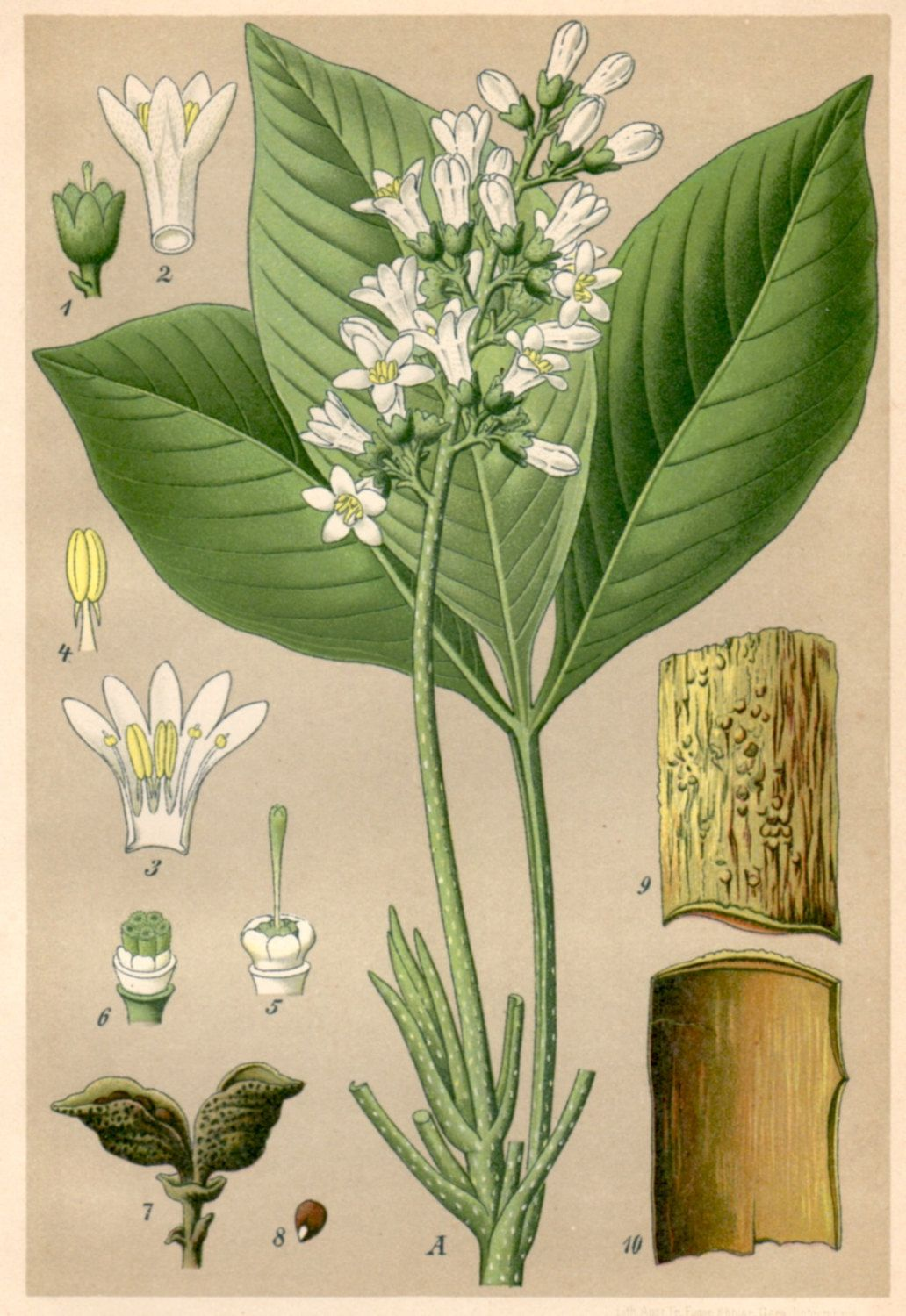 1901 Antique Botanical Print, Angustura Vera, Homeopathy, Angostura trifoliata, Galipea officinalis https://www.etsy.com/uk/listing/204080444/1901-antique-botanical-print-angustura?ref=shop_home_active_17