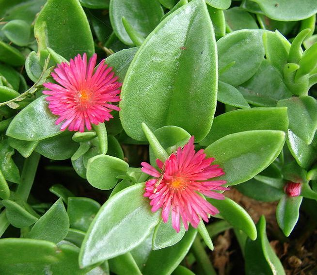 The garden geeks plant of the day dew plant perennial zone 10 11we the garden geeks plant of the day dew plant perennial zone 10 11 mightylinksfo