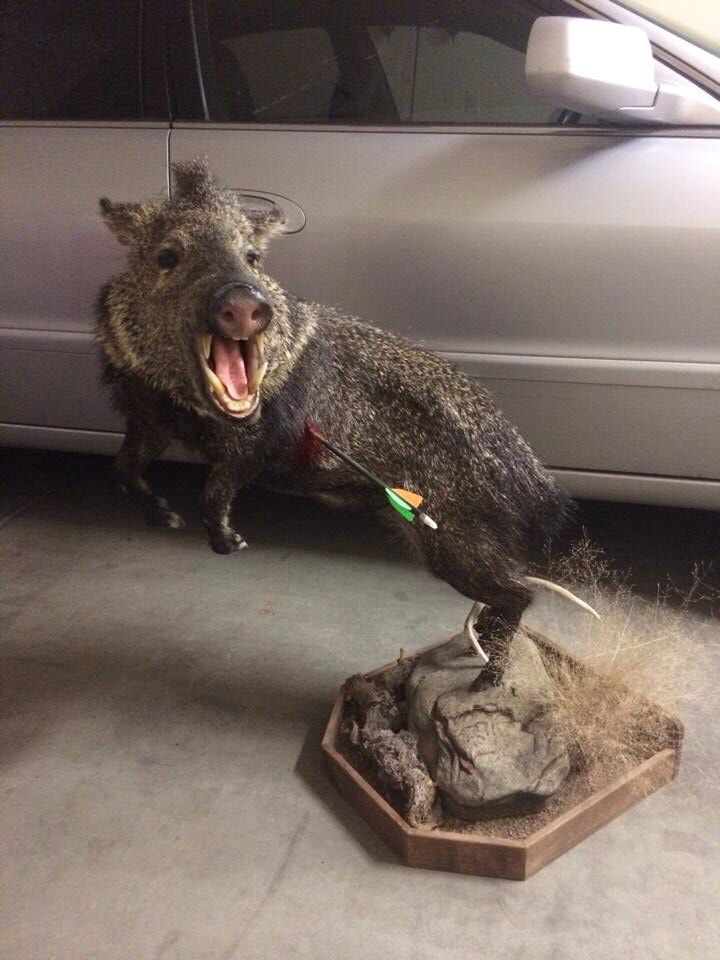 Javelina What An Awesome Idea For Your First Archery Pig