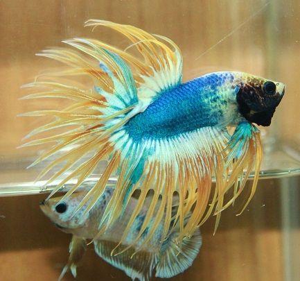 Mascot Betta Fish Betta Fish Pet