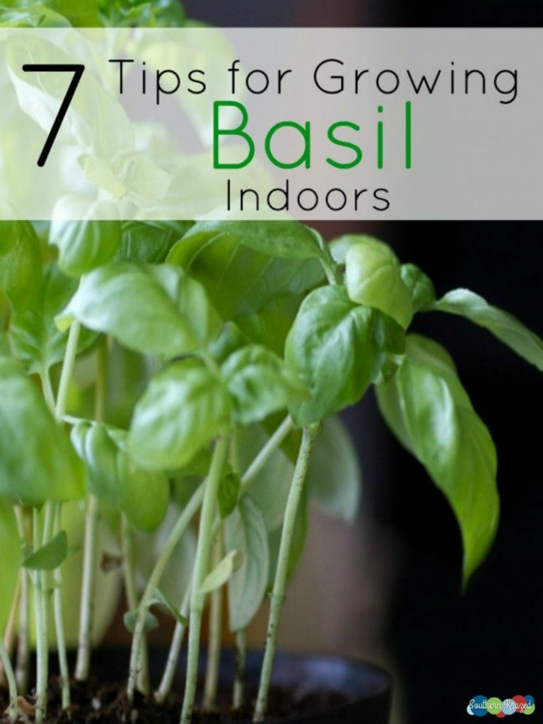 how to take care of basil plant indoors