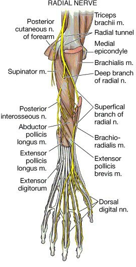 Deep Branch of the Radial Nerve and Posterior Interosseous ...