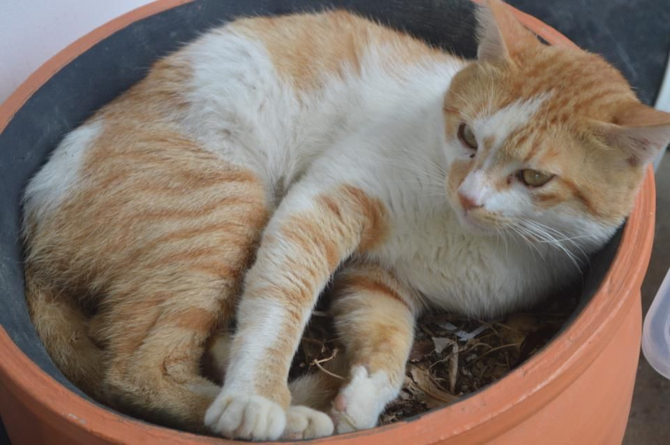 Ttspca Trinidad And Tobago Society For The Prevention Of Cruelty To Animals March 6 Young Male Neutered Cat No Kill Animal Shelter Animals Foster To Adopt
