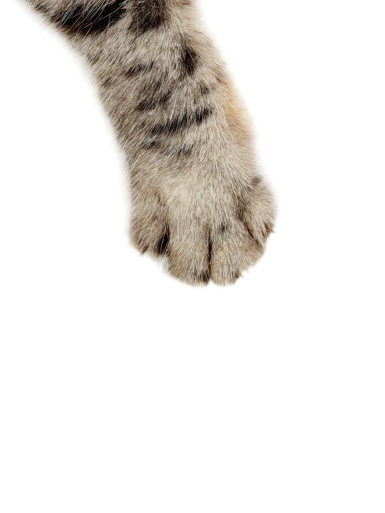 Cat Paw On White Background
