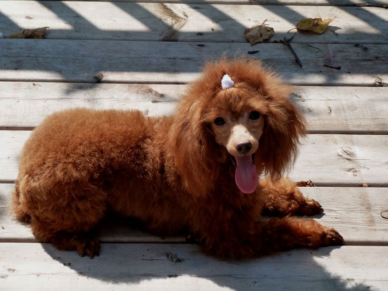 Cherry Mahogany Red Female Toy Poodle Breeder From Lachicpatte