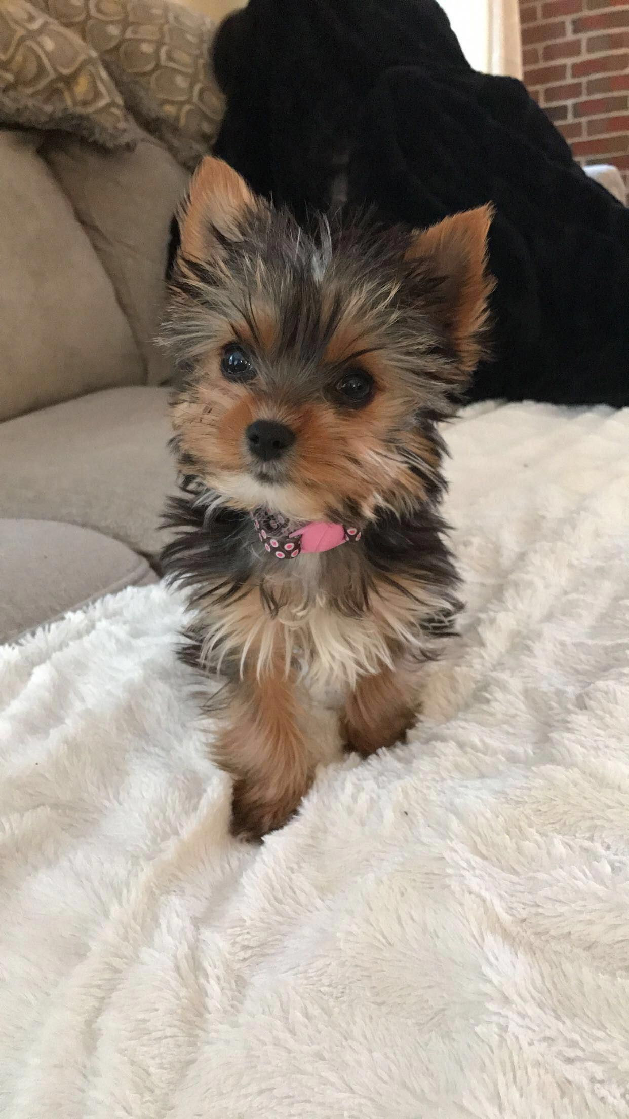 Poodles Smart Active And Proud Yorkie Puppy Cute Baby Animals Teacup Yorkie Puppy