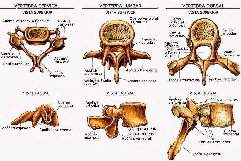 Imagenes De Las Vertebras Con Sus Distintas Partes Anatomia Anatomia Del Esqueleto Anatomia Medica