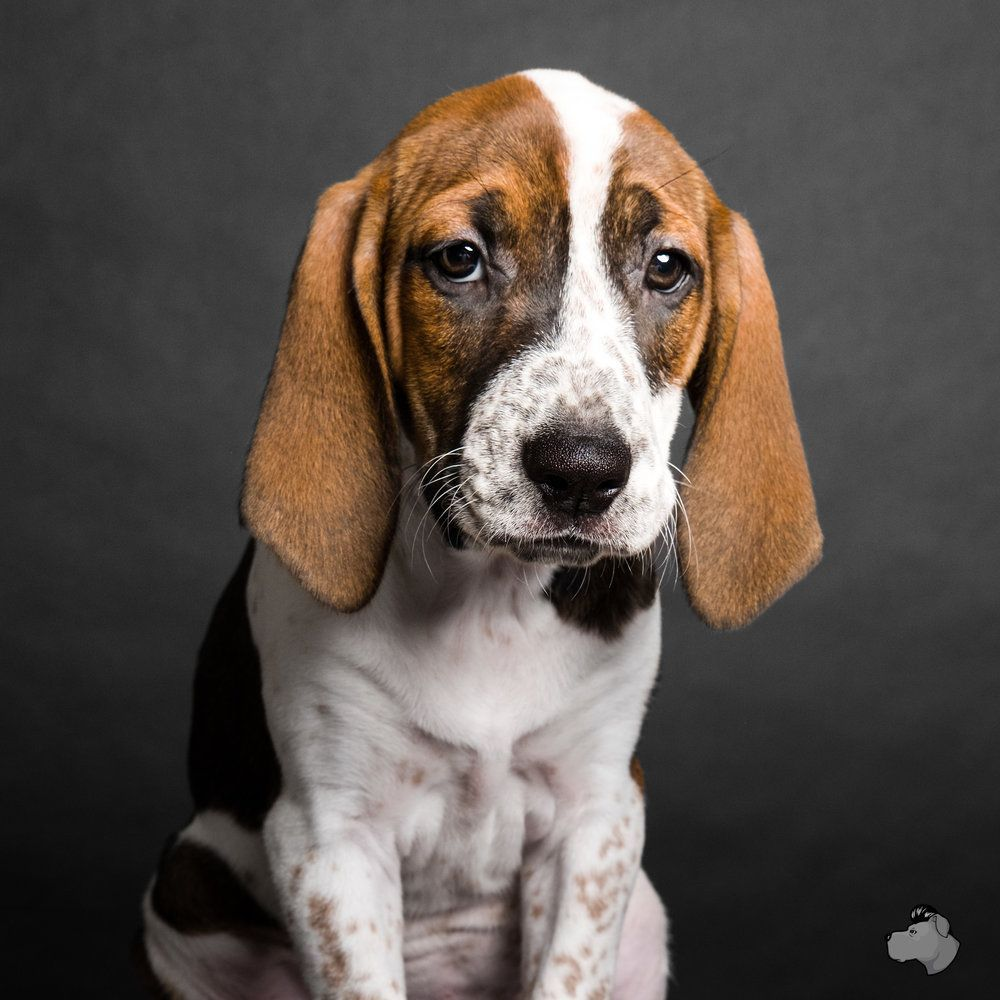 Why Beagles Make Great Pets Beagle Dogs Dogs Adoptable Beagle