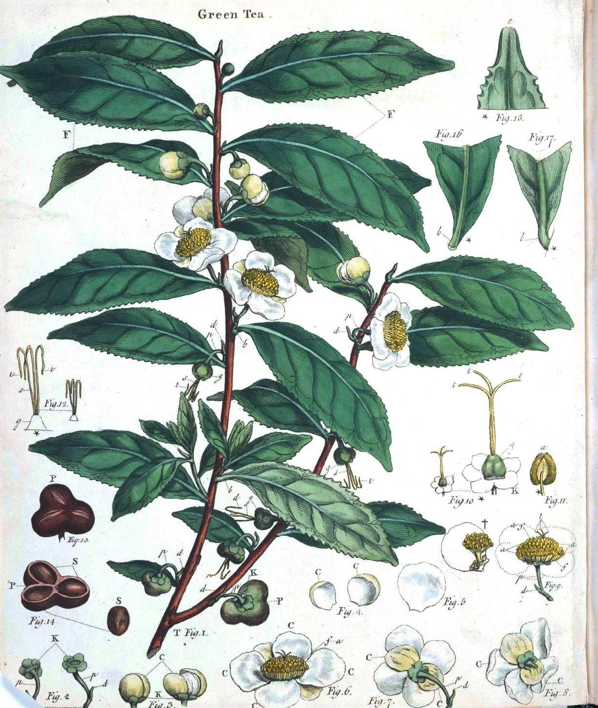 Botanical Anatomy Green Tea Incredible Benefits Of Having Green
