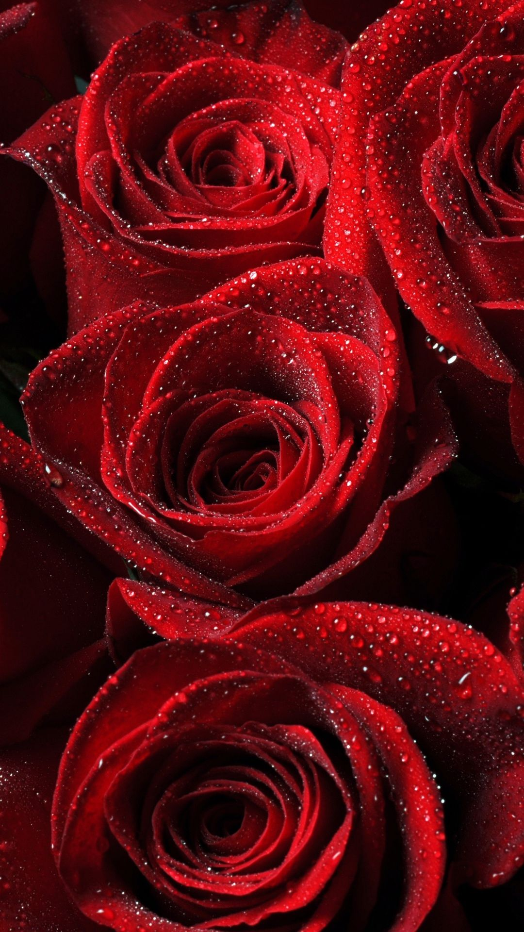 Roses Red Drops Petals Iphone 6 Plus Wallpaper Rose
