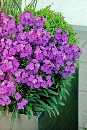 Erysimum Winter Joy Wallflower From Skagit Gardens Hardy Perennials Ornamental Plants Flowers