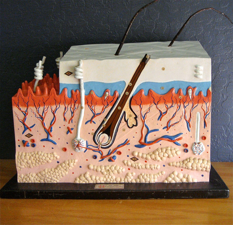 spleen diagram project vintage clay adams human skin 3d teaching model | gifts ... #9