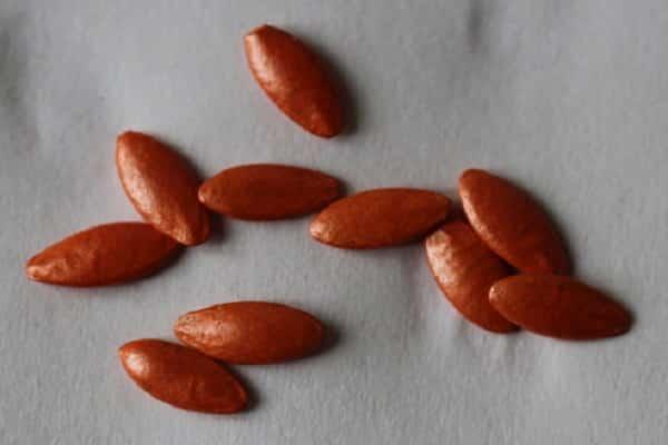 можно ли замачивать семена щавеля перед посадкой