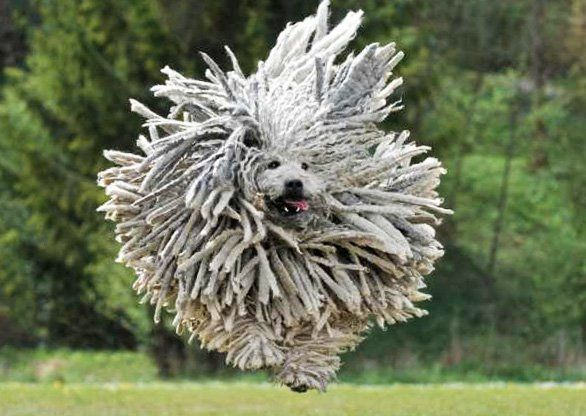 Can you believe there are three breeds of dog sporting dreadlocks? All are shepherds and livestock guardians that are well protected from predators and the elements with their generous, naturally corded coats. The smallest of the three breeds, the Puli, is native to Hungary and closely related to the Komondor.